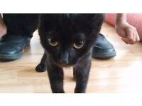 Beautiful Black Female Kitten (6 weeks old)