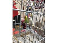 2 budgies +cage for sale