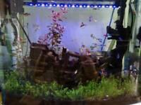 Fish guppies neon