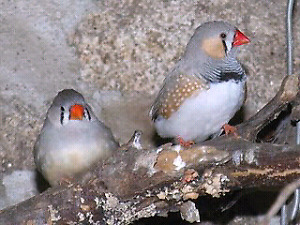 Finches 25 $