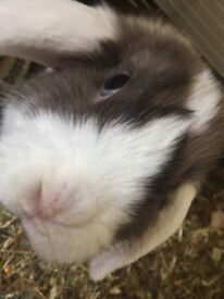 4 month old Mini lop bunny