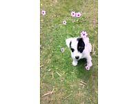Female 15 weeks puppy