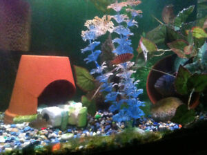 Adult breeding set of ice blue red tops