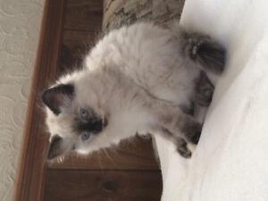 10 week old ragdoll kitten... blue eyes