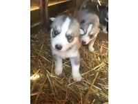 9 full bred Siberian husky pups