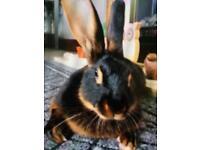 Black & tan Belgian hare