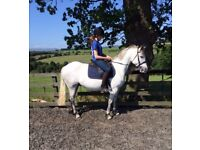 Reg Connemara 14.2hh Grey Mare