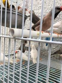 Zebra Finches beautiful and healthy for sale
