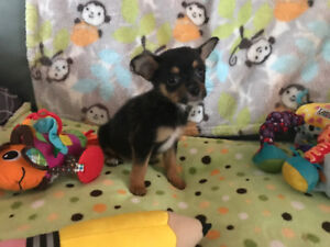 Chihuahua/poodle puppies ONLY 2 LEFT