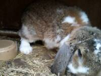 Giant French lop male