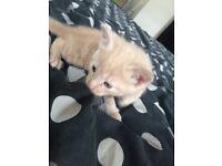 Male cream/ginger kitten