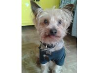Missing Yorkshire Terrier in Leyton