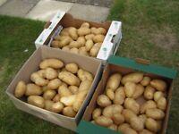 Fresh Charlotte potatoes