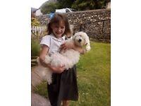 Bichon Frise Poodle White
