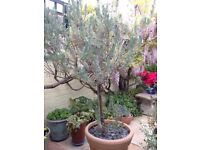 Butterfly Lavender Plant in Patio Pot