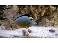 "Naso lipstick tank 3,5"" Marine reef salt tropical fish tank aquarium Leicester"