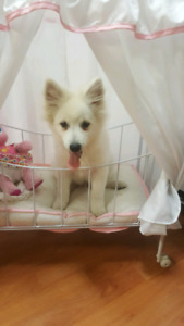 Purebred white mini American Eskimo male puppy