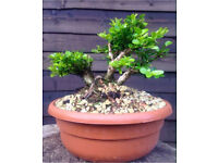 Quality Shohin size Loniceria Nitida Raft style collected bonsai material