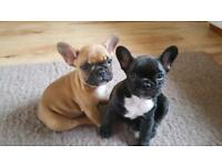 French Bulldog puppy, girl