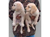 Golden retriever x Labrador