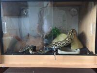 **For Sale** Male Lesser Royal Python + Vivarium