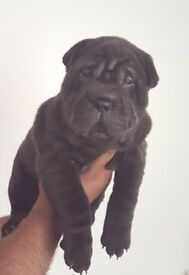 Adorable Shar Pei pups for sale