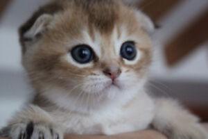 Scottish gold chinchilla, pure breed , fold male kitten.