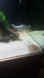 12 inch boney lipped barb tropical fish