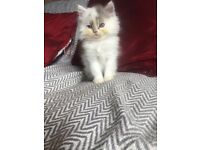 Pedigree Persian/British longhair kitten