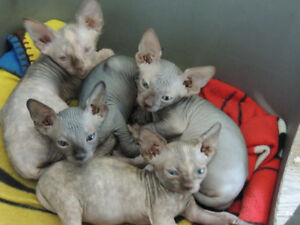 Adorable Canadian Sphynx kittens available