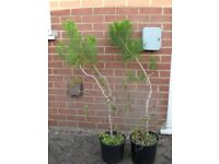 Pinus Pinea (Stone Pine Tree) Pine nuts Garden Bonsai 4 feet tall