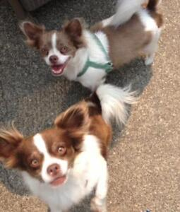 """Adult Male Dog - Chihuahua: """"Chico and Harley"""""""