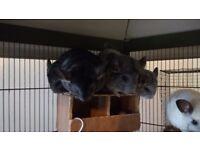 Two pairs female chinchillas