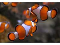 Nemo Clownfish £20 for a pair !