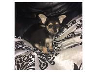 2 girls 1 boy chihuahua puppies for sale