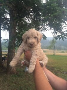 Labradoodle Puppies 2 left