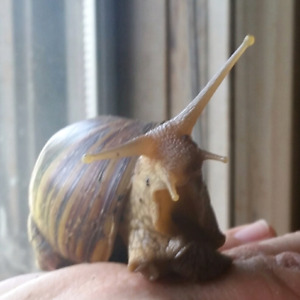 Marvelous Little Land Snails For Sale