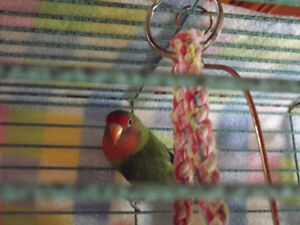NUTHOUSE AVIARY AND PARROT RESCUE HAS LOVEBIRD PAIRS 4 ADOPTION