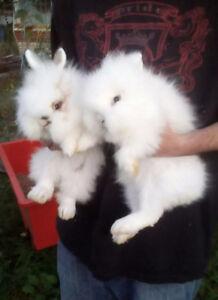 GetMini Lion head bunny rabbits