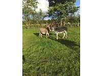 Nigel an Noel Irish donkeys