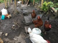 20 chickens SOLD