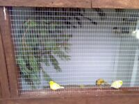 canarys 1 pair 2 pairs zebra finches and flight cage pick up only 65 pound