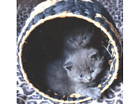 Gorgeous male British Shorthair kittens