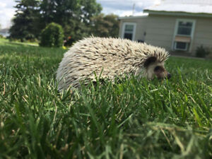 5 month old hedgehog with tank