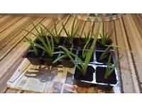 Aloe Vera for sale