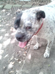 4 years old Cattle dog boxer cross rescue for adoption
