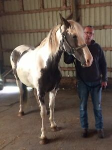 Beautiful Roan and White Tennessee Walking Horse