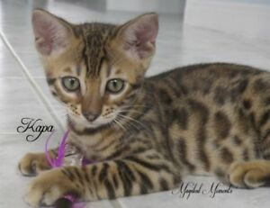 Exotic, energetic Bengal kittens - TICA purebreds