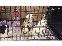 Beagle x cocker spaniel pups