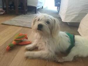 """Young Male Dog - Maltese-Poodle: """"TEDDY (arrived)"""""""